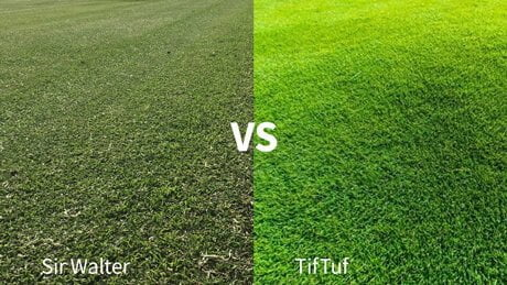 Sir Walter vs. TifTuf