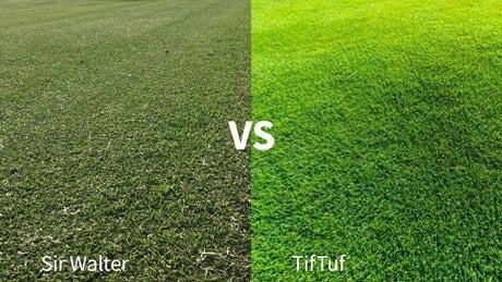 Sir Walter vs. TifTuf